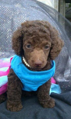 Parti Poodle For Sale In Austin Texas Classifieds Buy And