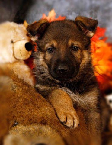 STUNNING, RESPONSIVE AKC GERMAN SHEPHERD PUPPIES FOR