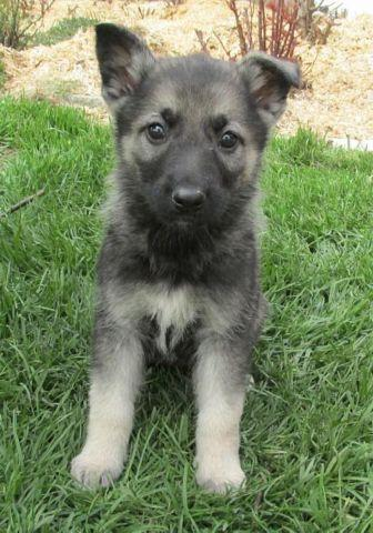 German Shepherd Puppies Red Black For Sale In Indiana Classifieds