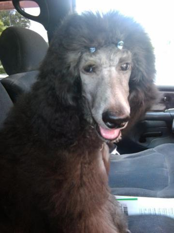stunning silver standard poodle male . akc 6 mos old