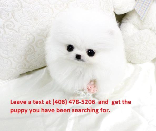 teacup white pomeranian puppy for sale stunning white teacup pomeranian puppies for sale for sale 6110