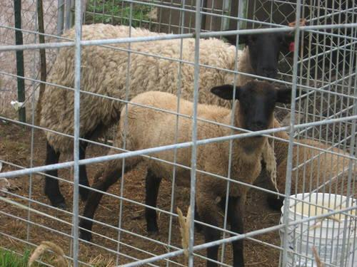 Suffolk Ewe and Lambs for Sale in Longview, Washington