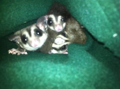 Sugar gliders *pregnant females*