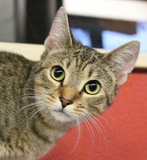 Summer Domestic Shorthair Young Female