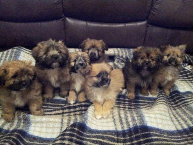 Summer Puppies Yorkiepom 3 Month Puppies Shots Updated For Sale In