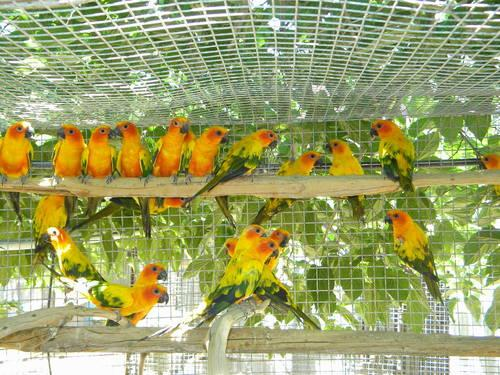 SUN CONURE BREEDING PAIRS. SUPER SALE!! $380