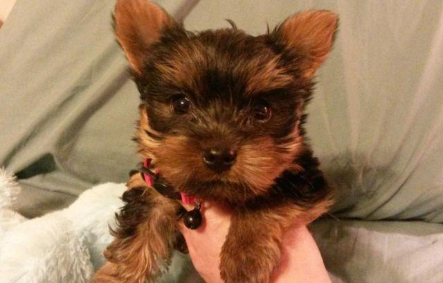♢♢Super Adorable Dexter Tiny Yorkie Boy♢♢