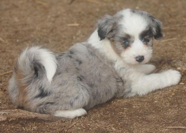 Aussiedoodle For Sale In Susanville California Classifieds Buy