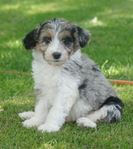 Aussiedoodle Puppies For Sale In California Classifieds Buy And