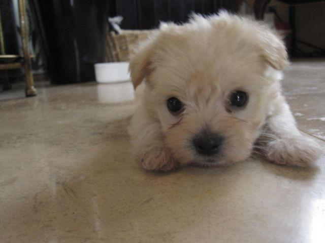 Maltese Mix Yorkie Pets And Animals For Sale In The Usa Puppy And