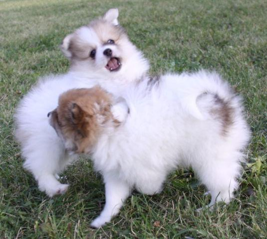 pomeranian for sale in oregon super adorable pomeranian puppies for sale in portland 4444