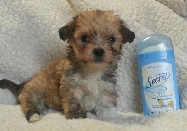 Super Adorable Very Tiny Micro Teacup Morkie Pups For Sale In
