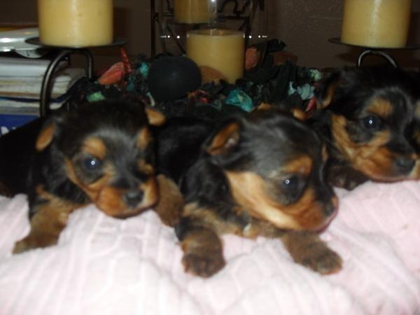 Super Cute 100 Teacups Yorkie Puppies For Sale In Chicago Illinois