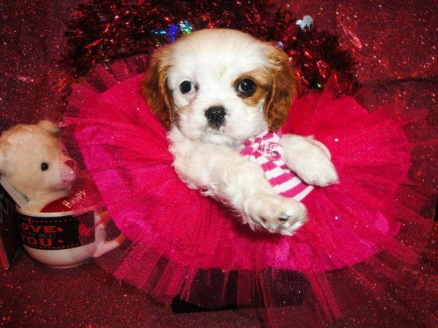 Super Cute AKC Cavalier King Charles Spaniel Puppy