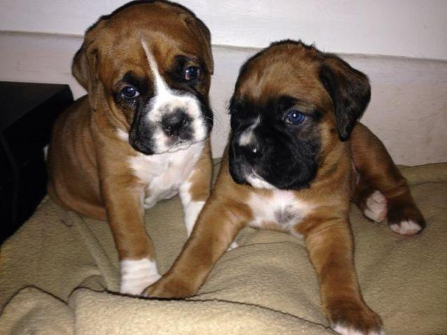 Super Cute Akc Registered Boxer Puppies For Sale In Tulsa