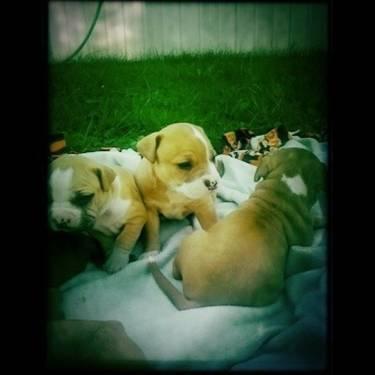 Super Cute American Pitbull puppies! for Sale in Streetsboro, Ohio ...