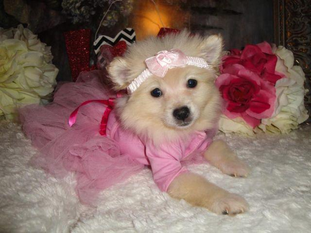 Super Cute CKC Female Pomeranian Puppies