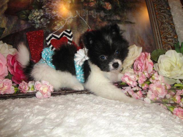 SUPER CUTE CKC TINY TOY POMERANIAN PUPPY