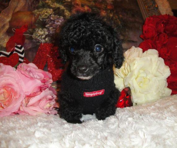 Super Cute CKC Tuxedo Male Tiny Toy Poodle Puppies