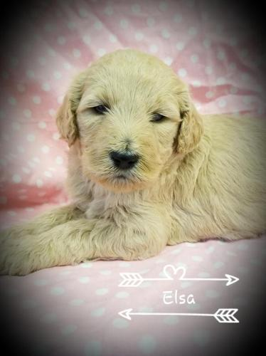 Super Cute F1b Goldendoodle Puppies Ready 5618 For Sale