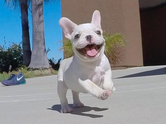 Výsledek obrázku pro french bulldog cute