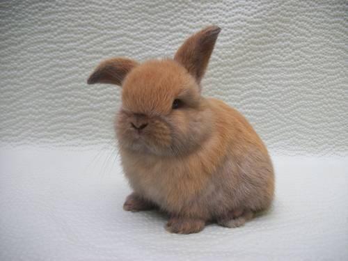 Super Cute Holland Lop Bunnies For Sale In Sc For Sale In
