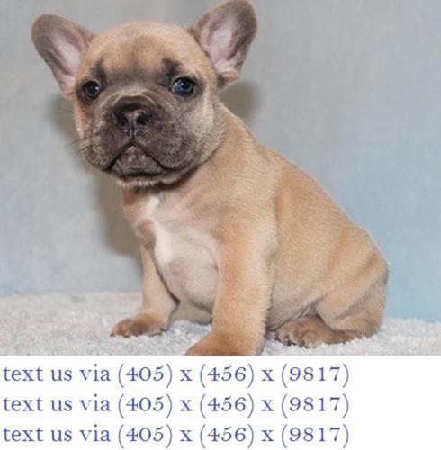 Super Cute Male Bluefawn French Bulldog Puppy Chocolate