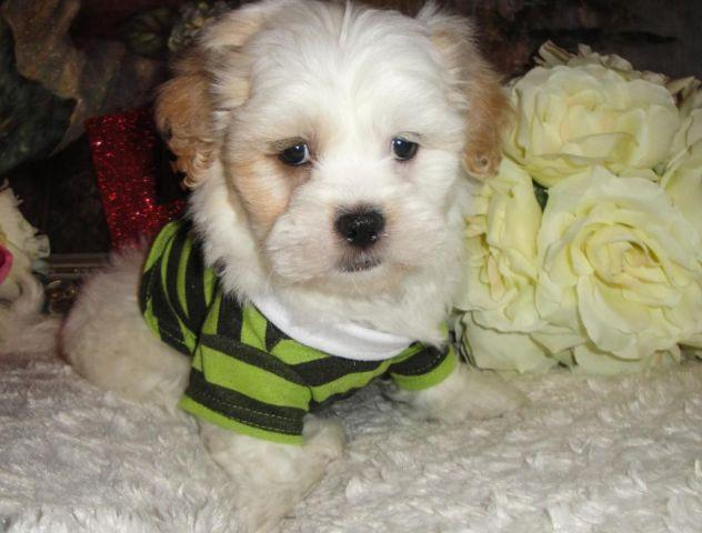 Super Cute Male Maltese Shihtzu Mix Mal-shi Puppies