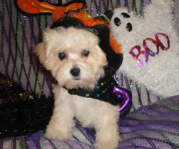 Super cute maltipoo puppies for Halloween