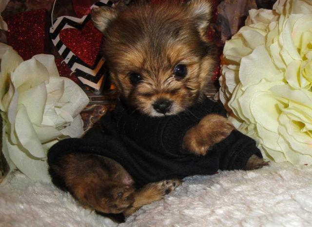 Super Cute Micro Teacup Morkie Maltese And Yorkie Mix For Sale In