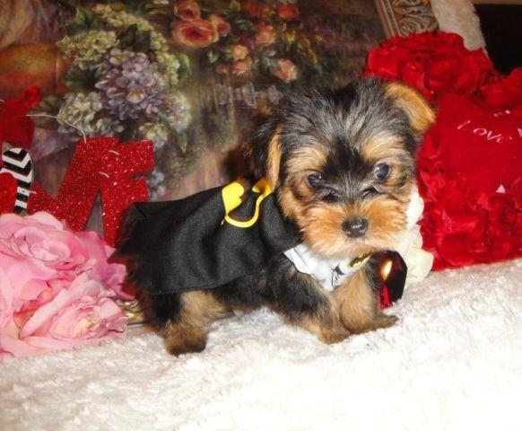 Super Cute Morkie Male Puppy