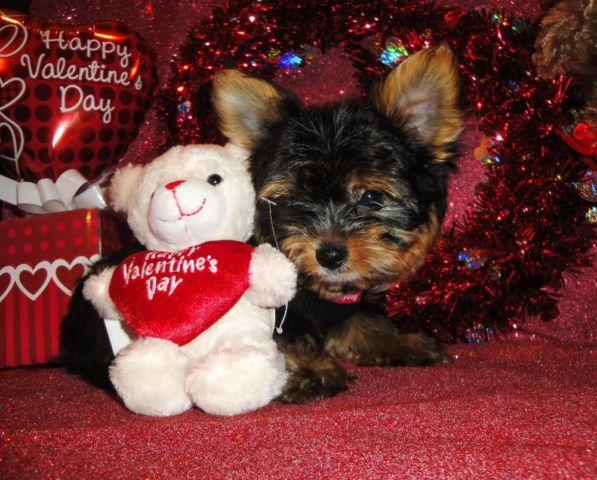 Super Cute Morkie (Maltese Mix Yorkie) Male Puppies