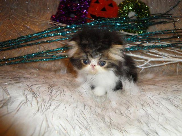Super Cute Persian Teacup Tabby Kitten baby doll face for Sale in ...
