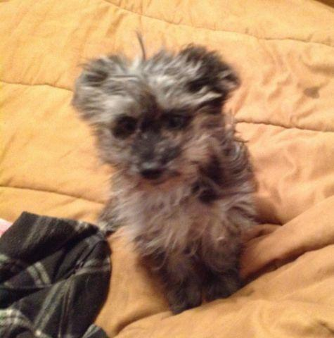 Super Cute Pomeranian Mix Puppies For Sale In Cleburne