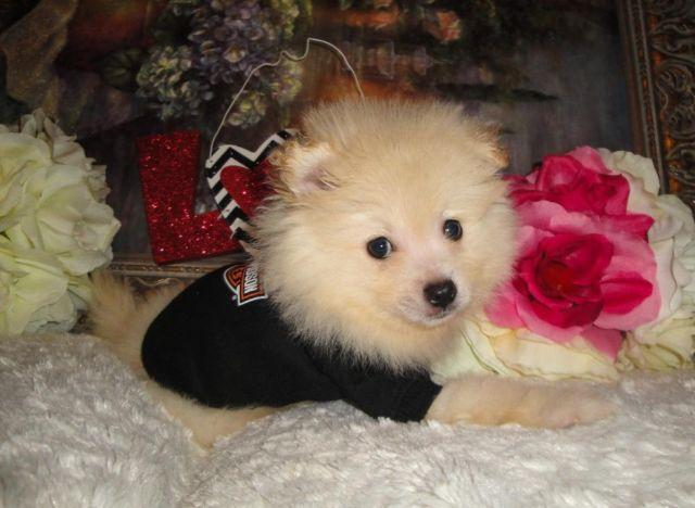 Super Cute Pomeranian Puppies Male