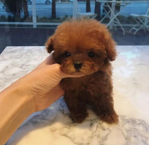 Toy Poodle Puppies Pets And Animals For Sale In Knoxville