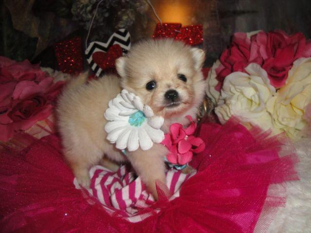 Super Cute Teacup Maltipom Maltese and Pomeranian Mix