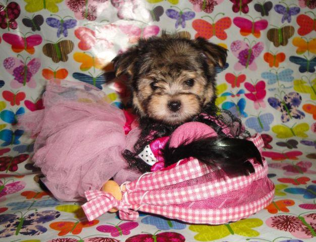 Super Cute Teacup Morkie Maltese And Yorkie Mix Puppies For Sale