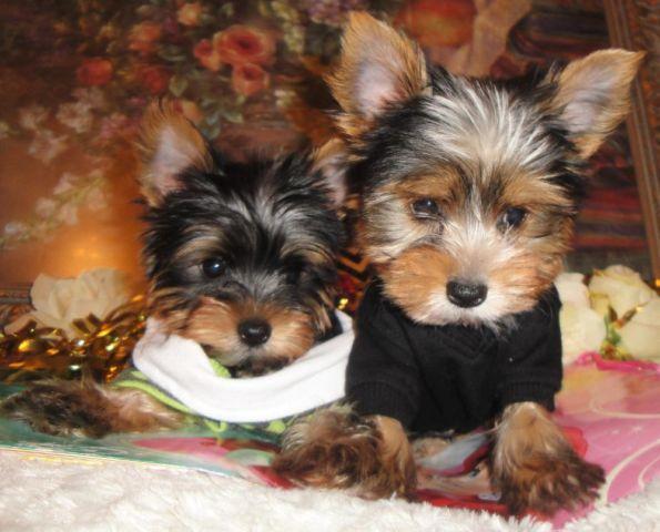 Super Cute Teddy Bear Face Teacup Yorkie Puppies