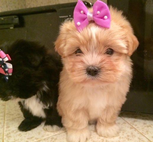 Super Fluffy Shih Tzu Toy Poodle Puppies For Sale In Tracy