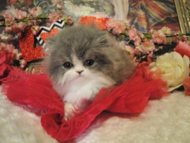 Super Persian Kittens Female Blue Bi-Color