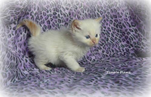 Super Sweet Ragdoll Kittens For Sale In Pittsburgh Pennsylvania Classified Americanlisted Com