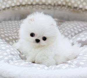 Super Teacup Pomeranian Puppies Ready Now 832 937 8464 For Sale