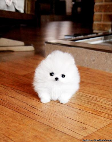 pomeranian puppies for sale in illinois super tiny pomeranian puppies for adoption for sale in 1813