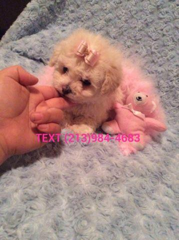 SUPER TINY Teacup Teddy Bear Maltipoo
