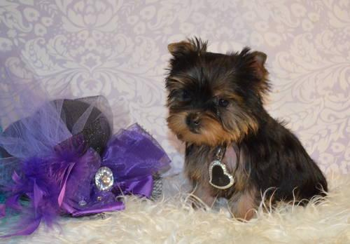 Super Tiny Yorkie ACA Teacup Female Yorkshire Terrier