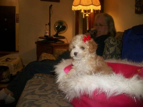 TEACUP POODLE Apricot with white on head face feet Girl in Nashville