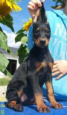 Doberman For Sale In Michigan Classifieds Buy And Sell In Michigan