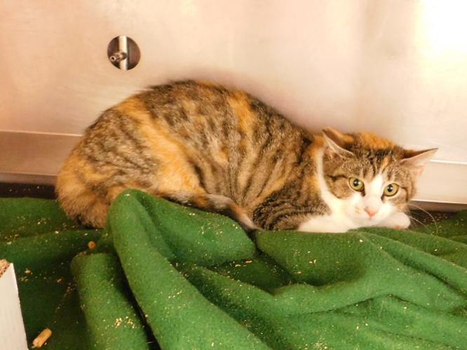 Suzy (Barn Cat) Tabby Baby - Adoption, Rescue for Sale in ...