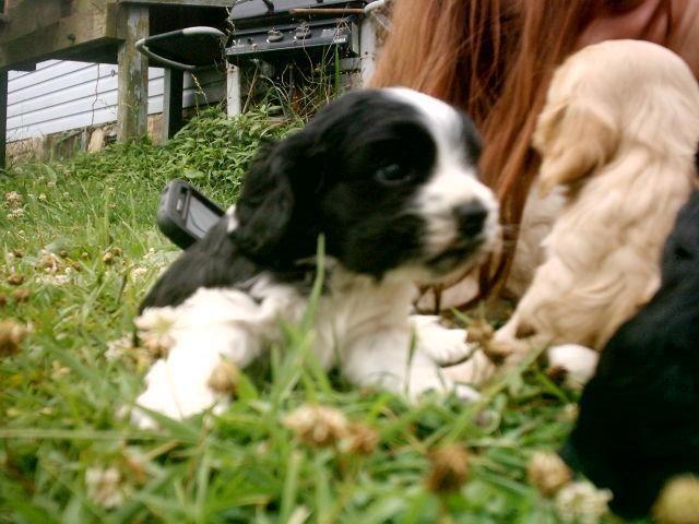 Sweet Akc Registered Cocker Spaniel Puppy For Sale In Roanoke